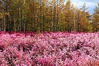 杜鹃花和森林