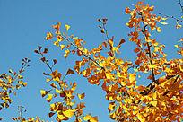 金黄色的银杏枝叶