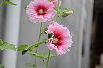 两朵盛开的粉红蜀葵花