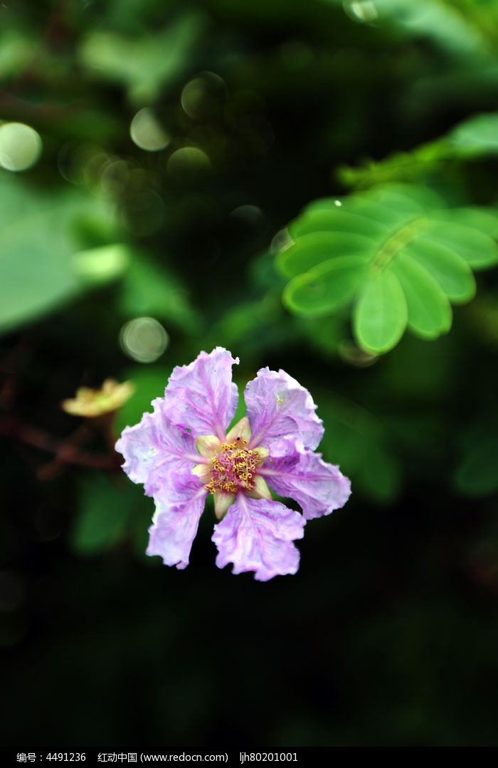 美丽的紫薇花图片