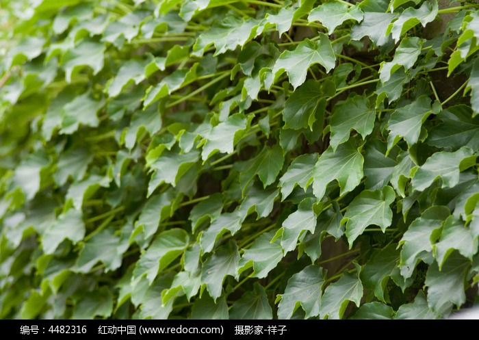 原创摄影图 动物植物 树木枝叶 爬山虎