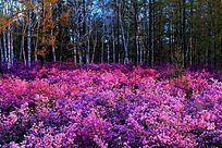 森林艳丽的杜鹃花