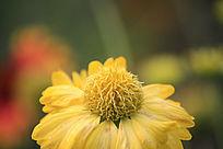 盛开的小菊花
