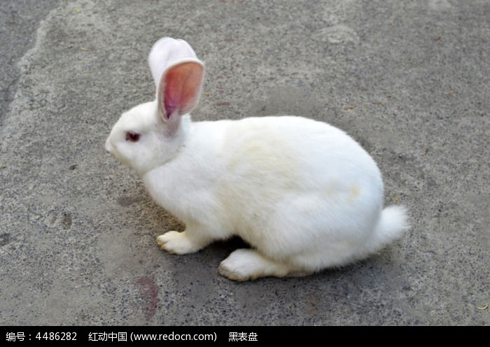 小白兔图片,高清大图_陆地动物素材