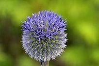 野生植物蓝刺头