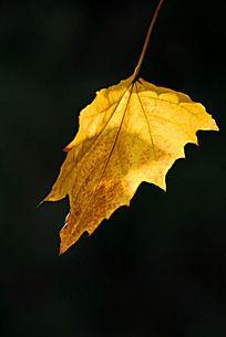 一片金黄色的树叶