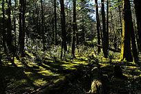 云杉坪原始森林风景