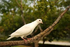 站在树枝上的白鸽高清拍摄