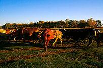 大草原转场的牛群