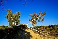 塞罕坝大草原的桦树