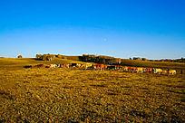 塞罕坝大草原上的牛群队伍