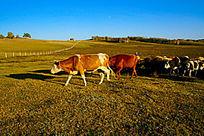 塞罕坝大草原正在转场的牛群队伍