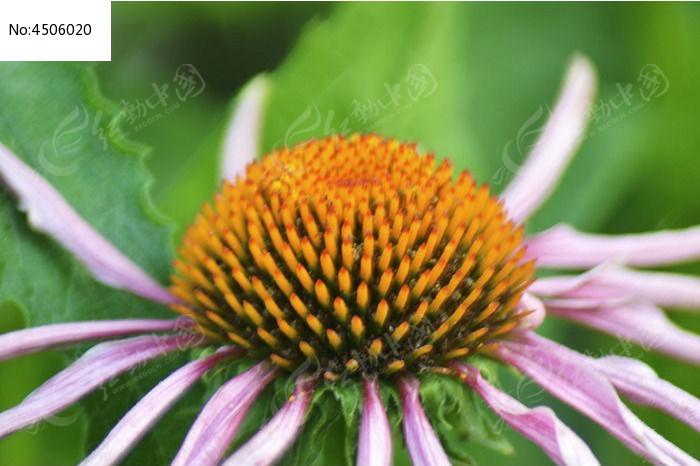 菠萝菊图片,高清大图_花卉花草素材