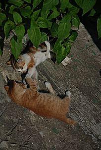 扭打的两只猫