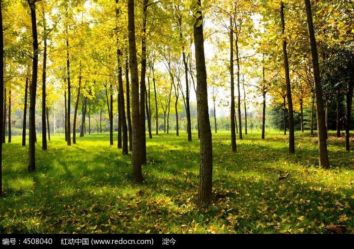 秋天金色的银杏树林铺满了落叶