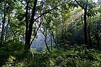 洒下阳光的树林