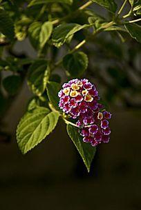 色彩艳丽的五色梅
