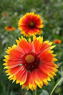 色彩艳丽的小菊花