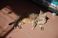 躺着的一只花猫