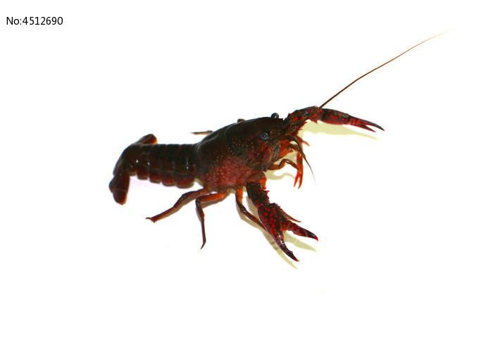 虾王图片,高清大图_水中动物素材