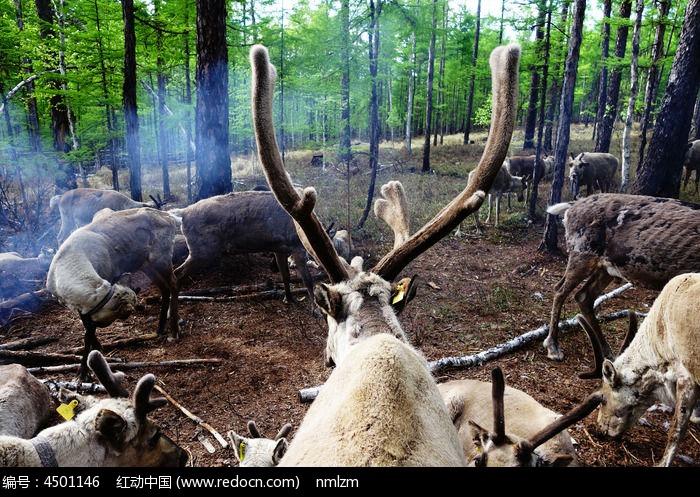 驯鹿图片,高清大图_陆地动物素材