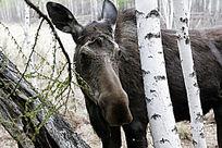 野生动物驼鹿