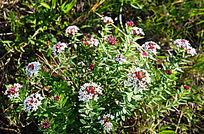 野生 狼毒花