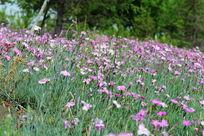 一片野花丛