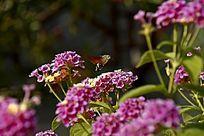 园林公园中盛开的五色梅