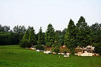 高尔夫球场旁边的杉木