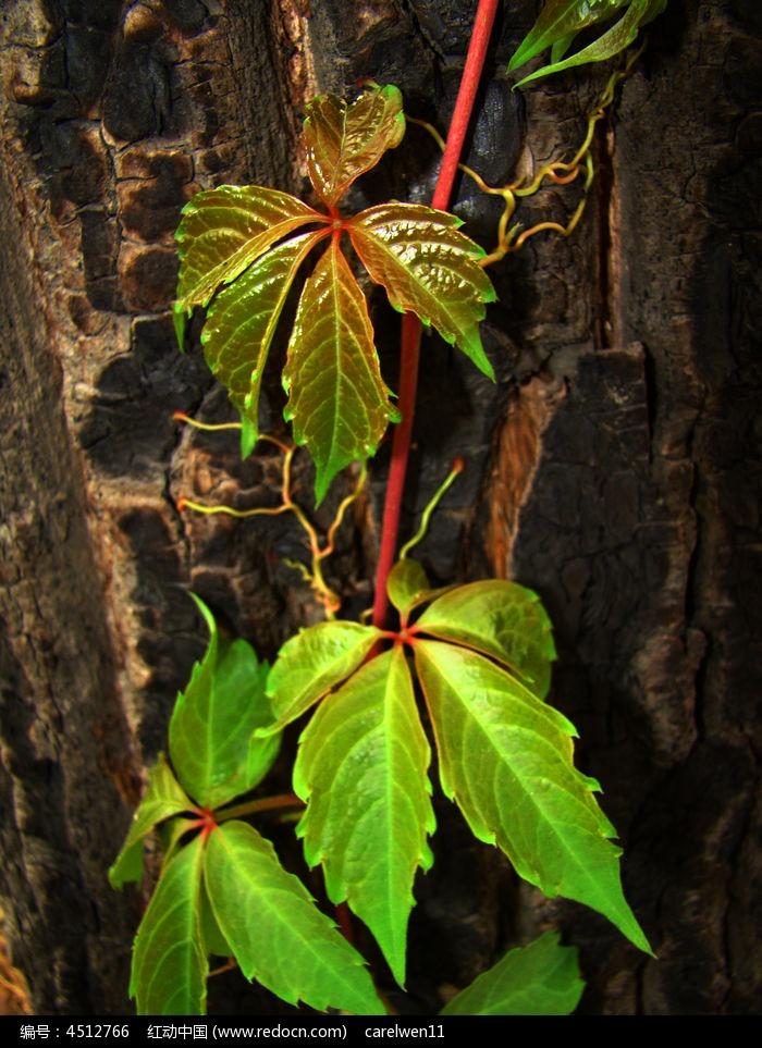 原创摄影图 动物植物 树木枝叶 爬树的爬山虎  请您分享: 红动网提供