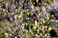 毕拉河杜鹃嫩芽,为兴安杜鹃。