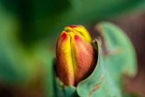 藏在叶子总得郁金香花骨朵