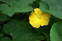 藏字叶子下的金黄色南瓜花