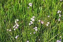 草丛迎春花