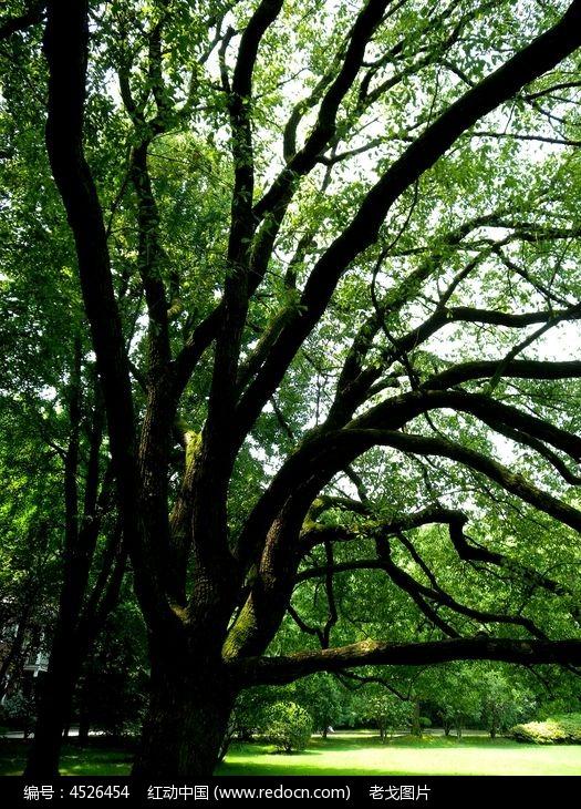 葱郁的百年老树图片,高清大图