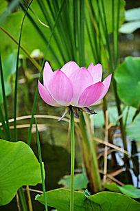 粉色荷花花朵