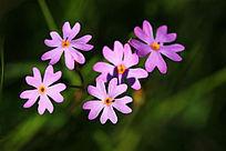 粉色迎春花