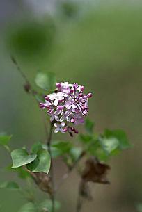 粉紫色的小碎花