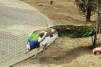高贵的白孔雀