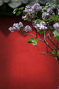 红色墙背景前的粉紫色小碎花