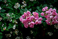 娇艳的粉紫色蔷薇