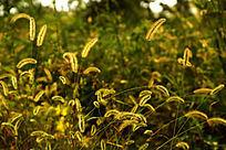 金黄色的毛毛草