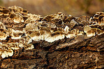 枯木树皮上的干白色木耳