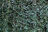 绿色的爬墙虎植物背景素材