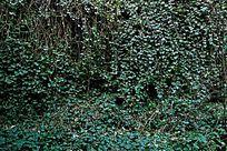 绿色爬墙虎植物背景