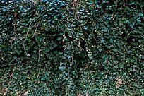 绿色爬墙虎植物背景素材