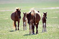 牧场上的三河马