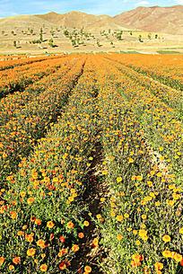 农民种植的花卉
