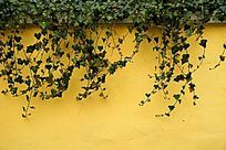 墙上的爬墙虎植物背景